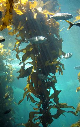 Kelp Meal 1