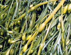 Kelp Meal 2