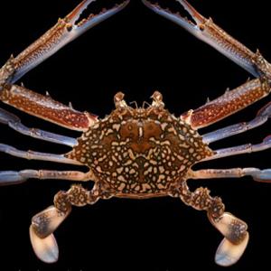 Crab Shell 2